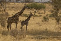 Вид сбоку двух жирафов, ходить на траве — стоковое фото