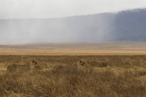 Lions walking on field in ngorongoro conservation area, tanzania — Stock Photo