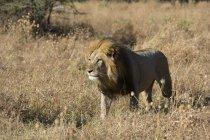 Лев, ходить в траве и глядя в Savuti, Национальный парк Чобе, Ботсвана — стоковое фото