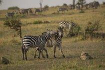 Schöne Zebras grasen und spielen am Feld, Serengeti, Tansania — Stockfoto