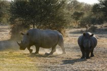 White rhinoceroses walking near trees, Kalahari, Botswana — Stock Photo