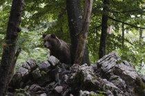 European brown bear in forest, notranjska regional park, slovenia — Stock Photo