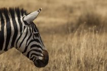 Vista laterale di uno in piedi bella zebra su erba, cratere ngorogoro, tanzania — Foto stock