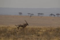 Oryx, Oryx Beisa, Tarangire Nationalpark, Tansania — Stockfoto