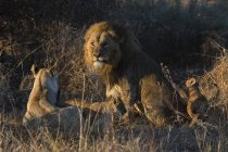 Lion couple sitting on ground with cubs, Okavango Delta, Botswana — Stock Photo