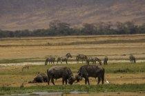 Буффало, Syncerus caffer, Ngorogoro кратер, Танзанія — стокове фото