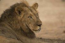 Um lindo leão descansando no chão em piscinas de mana do zimbabwe — Fotografia de Stock