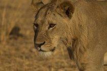 Портрет одной красивой Лев, Тарангире Национальный парк, Танзания — стоковое фото