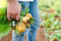 Uomo che tiene appena scelto patate — Foto stock