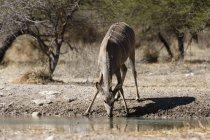 Eine weibliche größere Kudu Trinkwasser mit Bäumen im Hintergrund in Kalahari, Botswana — Stockfoto