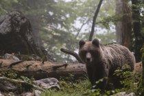 Brown bear walking in forest, bohinj commune, slovenia — Stock Photo
