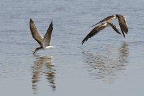 Afrikanische Skimmer fliegen über Wasser im Moremi-Wildreservat, Okavango-Delta, Botswana — Stockfoto