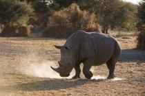 Vista laterale del rinoceronte bianco che cammina nella polvere, Kalahari, Botswana — Foto stock