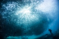 Diver swimming with school of jack fish, underwater view, Cabo San Lucas, Baja California Sur, Mexico, North America — Stock Photo