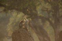 Baboons on stone in mana pools, zimbabwe — Stock Photo