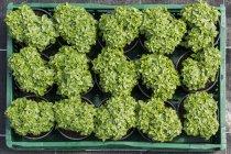 Vista superiore di belle piante verdi in vaso nel vassoio — Foto stock