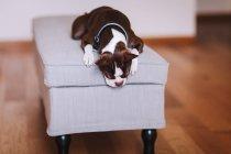 Бостон терьер Собака расслабляющий на стуле ноги — стоковое фото