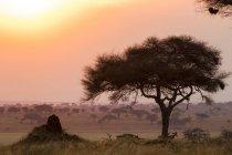 Hartebeest, Alcelaphus buselaphus, Tarangire National Park, Танзания — стоковое фото