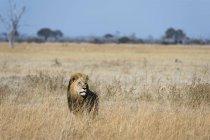 Leão, olhando para longe na grama Savuti, Parque Nacional de Chobe, Botswana — Fotografia de Stock