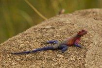 Lézard, Rock Agama, Agama mwanzae, Parc National du Serengeti, Tanzanie — Photo de stock