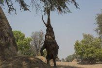 Afrikanischer Elefant frisst Baumblätter in Zimbabwe Manapools — Stockfoto