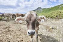 Portrait of cow with ear tag in Tannheim mountains, Tyrol, Austria — Stock Photo