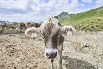 Портрет коровы с ушная бирка в горах Таннхайм, Тироль, Австрия — стоковое фото