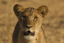 Portrait of one beautiful lioness, tarangire national park, tanzania — Stock Photo