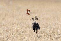 Sekretärin-Vogel, Schütze Serpentarius, Nahrungssuche, gefolgt von Carmine Bienenfresser Merops Rubicus, Tsavo, Kenia — Stockfoto