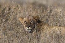 Una leonessa cammina sull'erba secca e distoglie lo sguardo a Tsavo, Kenya — Foto stock