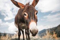 Портрет смішні Осел виглядає на камеру — стокове фото
