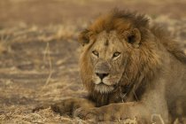 Um leão lindo, olhando para a câmera, Parque Nacional de tarangire, Tanzânia — Fotografia de Stock