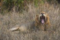 Один мужчина лев реветь и лежа на траве в Тсаво, Кения — стоковое фото