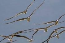 Африканський скімери, Rynchops flavirostris, під час польоту над озером Gipe, Тсаво, Кенія — стокове фото