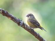 Femelle red Crossbill posé sur une branche d'arbre, Point Reyes National Seashore, Californie, é.-u. — Photo de stock