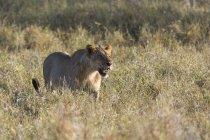 Rugido do leão e andar sobre a grama em Tsavo, no Quênia — Fotografia de Stock