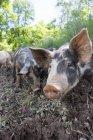 Portrait of heritage pigs on free range organic farm — Stock Photo