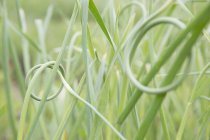 Close up of knotted grass, focus on foreground — Stock Photo