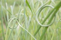 Primer plano de la hierba anudada, se centran en primer plano - foto de stock