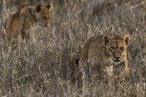 Dois filhotes de leão pequenos andando na grama seca em Tsavo, no Quênia — Fotografia de Stock