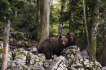 Two European brown bears, Markovec, Bohinj Commune, Slovenia, Europe — Stock Photo