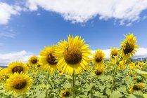 Bellissimi girasoli brillanti in campo, Provenza, Francia — Foto stock