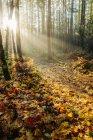Luce solare nella foresta di autunno, Bainbridge, Washington, Stati Uniti d'America — Foto stock
