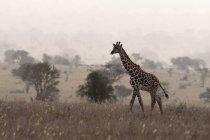 Vista de jirafa Masai caminar en la niebla de la madrugada, Tsavo, Kenya - foto de stock