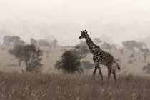 Distant view of Maasai giraffe walking in early morning mist, Tsavo, Kenya — Stock Photo