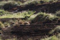Lionne couchée sur le kopje appelé Lion Rock dans la réserve de Lualenyi, Tsavo, Kenya — Photo de stock