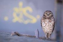 Burrowing Owl at Ocean Beach, San Francisco, California, United States, North America — Stock Photo