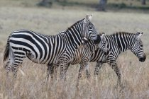 Two common  zebras, Equus quagga, and foal, Tsavo, Kenya — Stock Photo