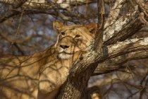 Un bel leone sdraiato su albero, Parco nazionale di tarangire, tanzania — Foto stock