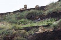 Lionne et lion mâle en arrière-plan reposant sur le kopje appelé Lion Rock en Lualenyi réserve, Tsavo, Kenya — Photo de stock